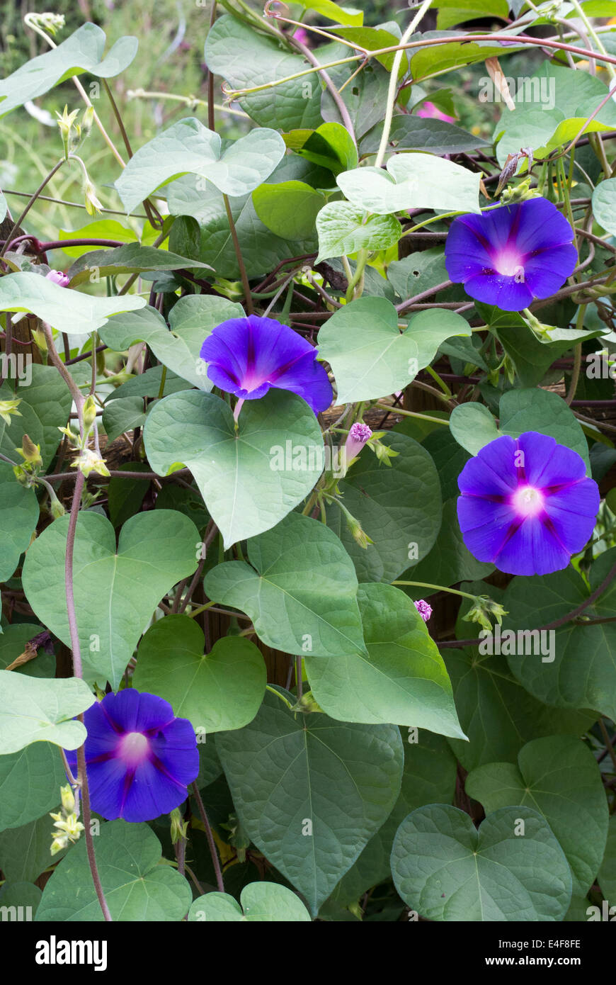 Morning Glory Blooms and Buds adorn a fence in slovenia - Stock Image