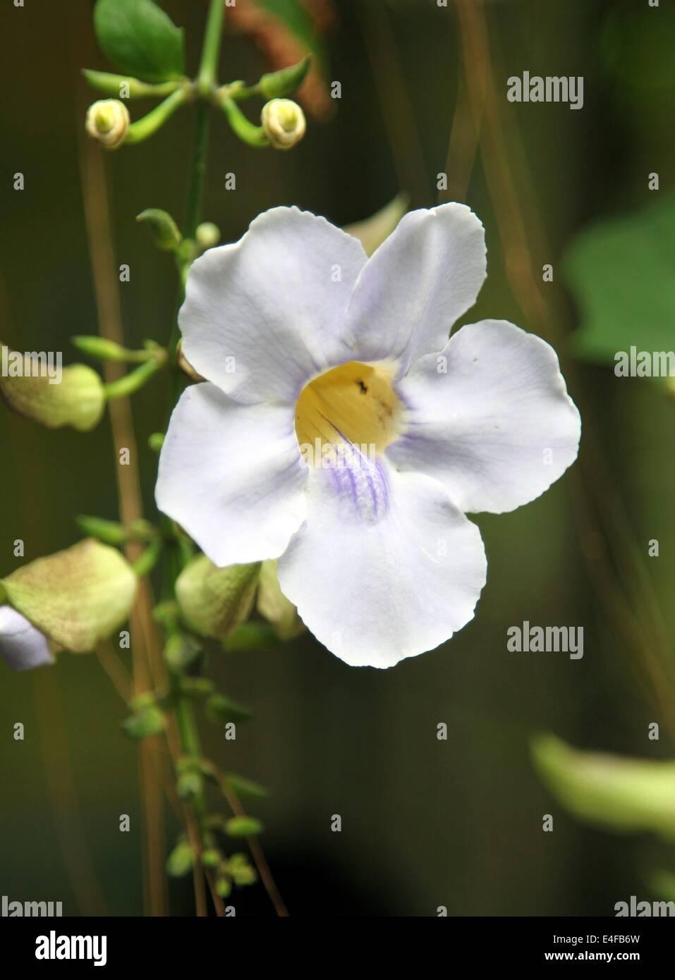 Jasmine Flower Photo Stock Photos Jasmine Flower Photo Stock
