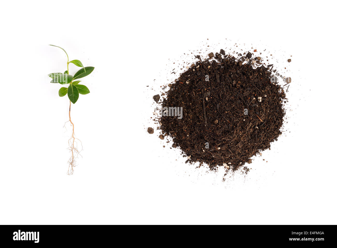 young Pittosporum tobira and small heap of soil for repotting, isolated on white background - Stock Image