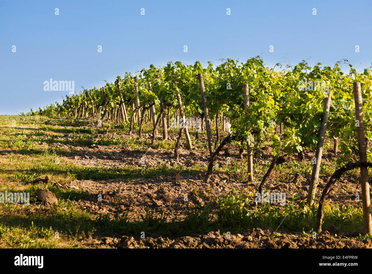 Ends of the rows of grape vines - Stock Image