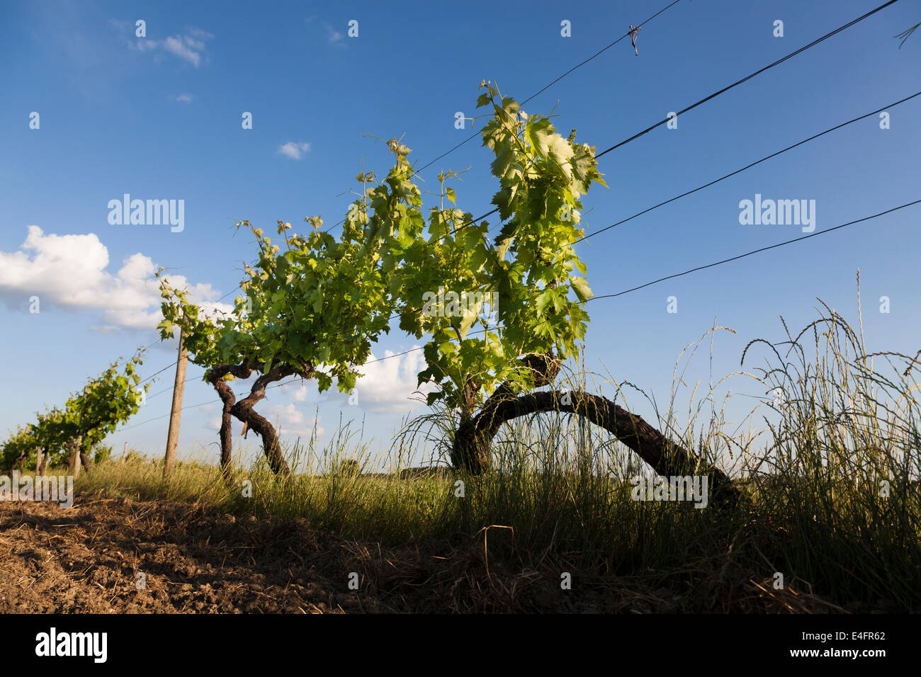 dramatic low angle view of grape vine in June against blue sky. Stock Photo