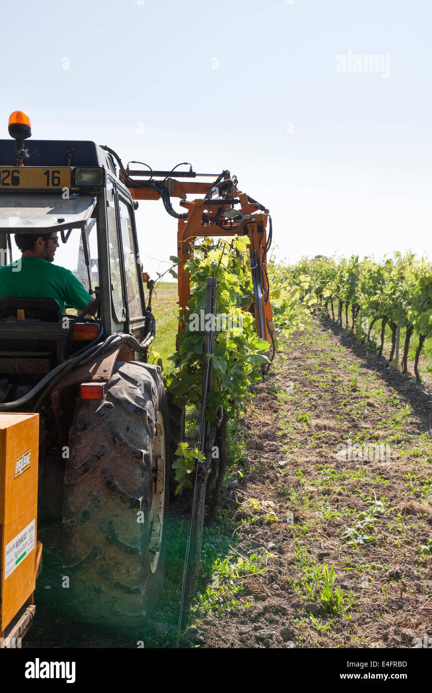 Tractor raising branches of rows of grape vines with lifting wire. - Stock Image