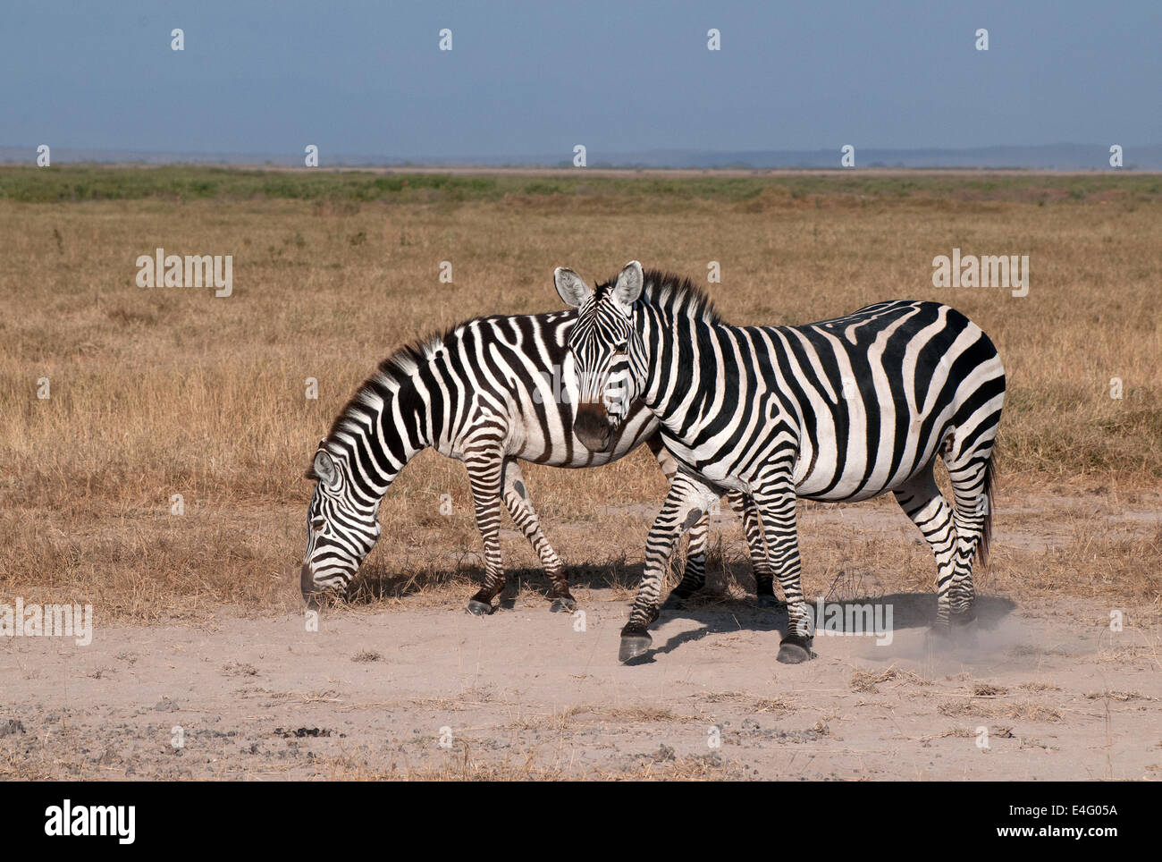 Two Common Zebras in Amboseli National Park Kenya East Africa  TWO COMMON ZEBRA ZEBRAS AMBOSELI KENYA - Stock Image
