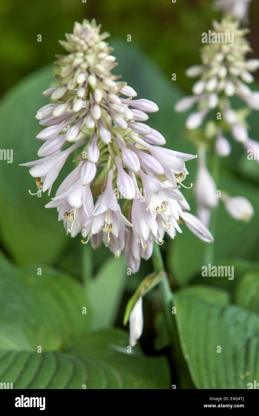 Hosta Blooming Plant For A Shady Parts Of The Garden Stock Photo