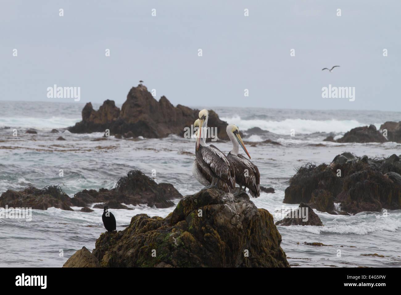 Pelicans on rock at Punta de Choros, La Serena, Chile Stock Photo