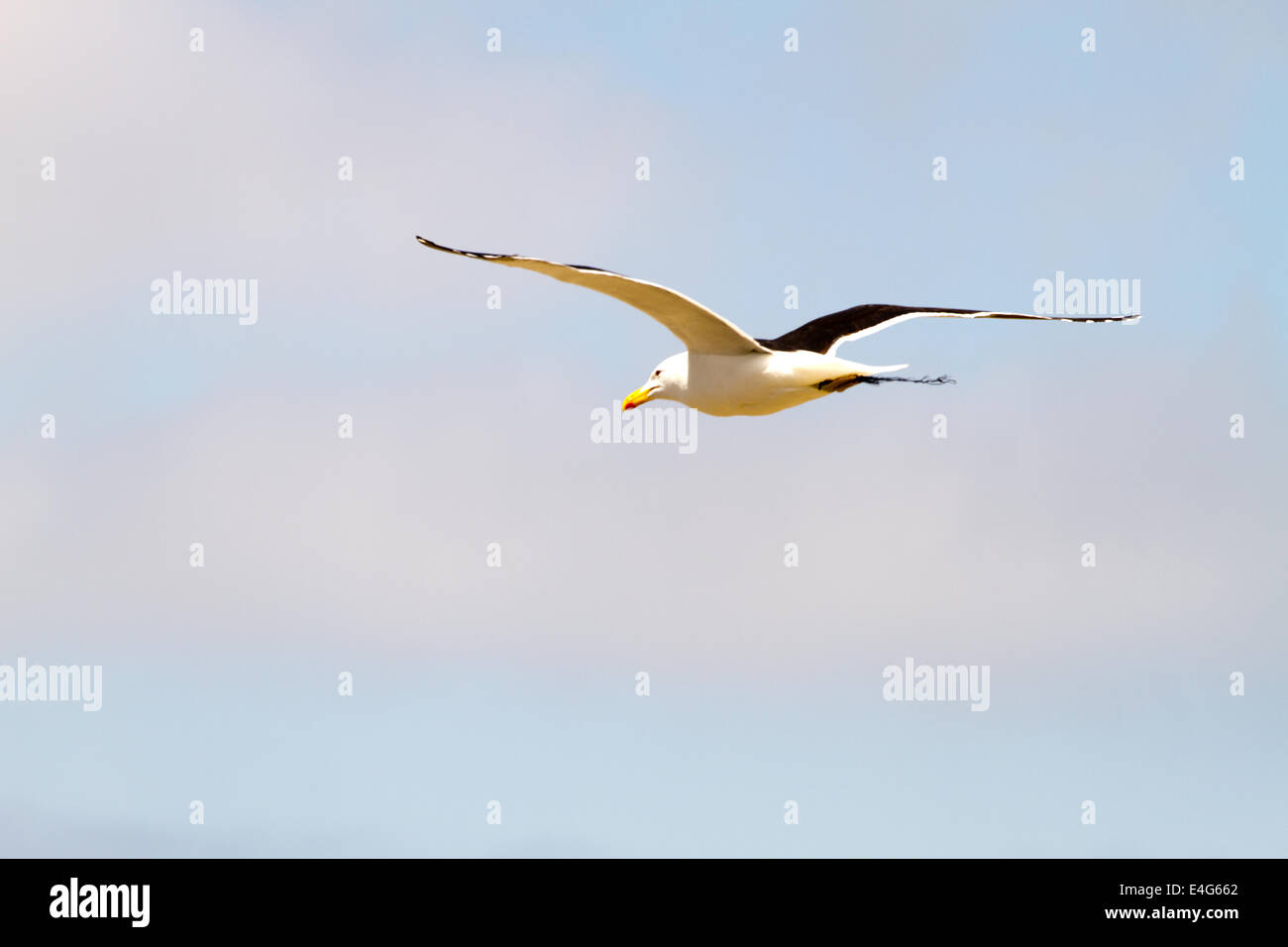 Bird in flight at Punta de Choros, Isla Damas, La Serena, Chile. 2013, Nov 02/03 Stock Photo