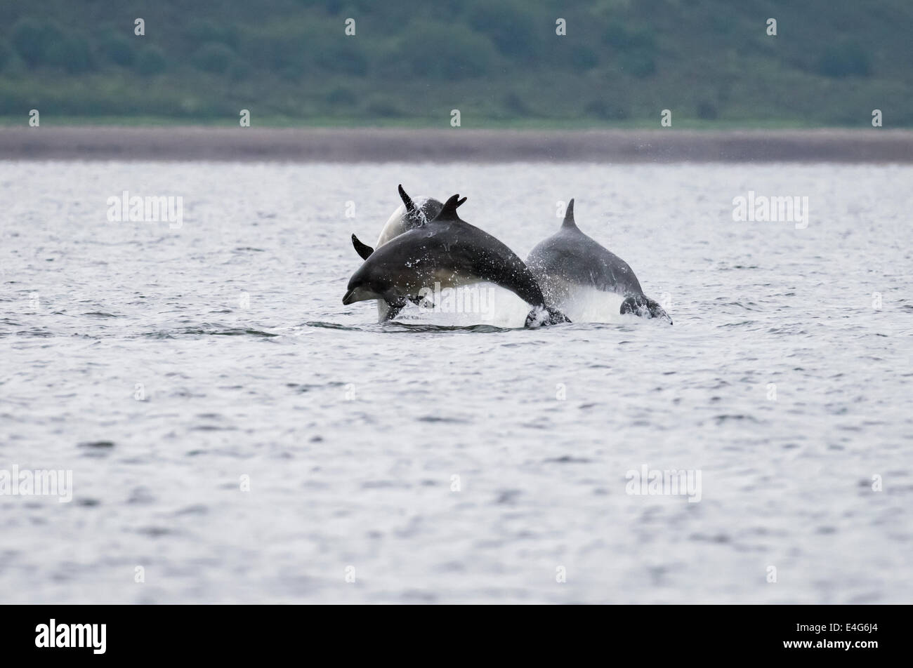 Bottlenose Dolphins breaching at Chanonry Point, Scotland - Stock Image