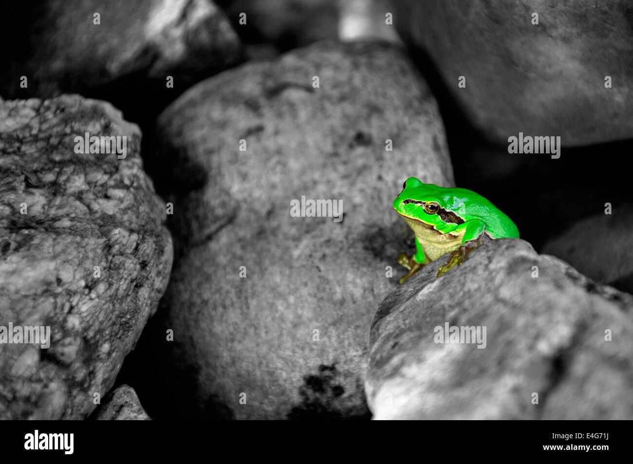Little common tree frog between stones - colorkey Stock Photo