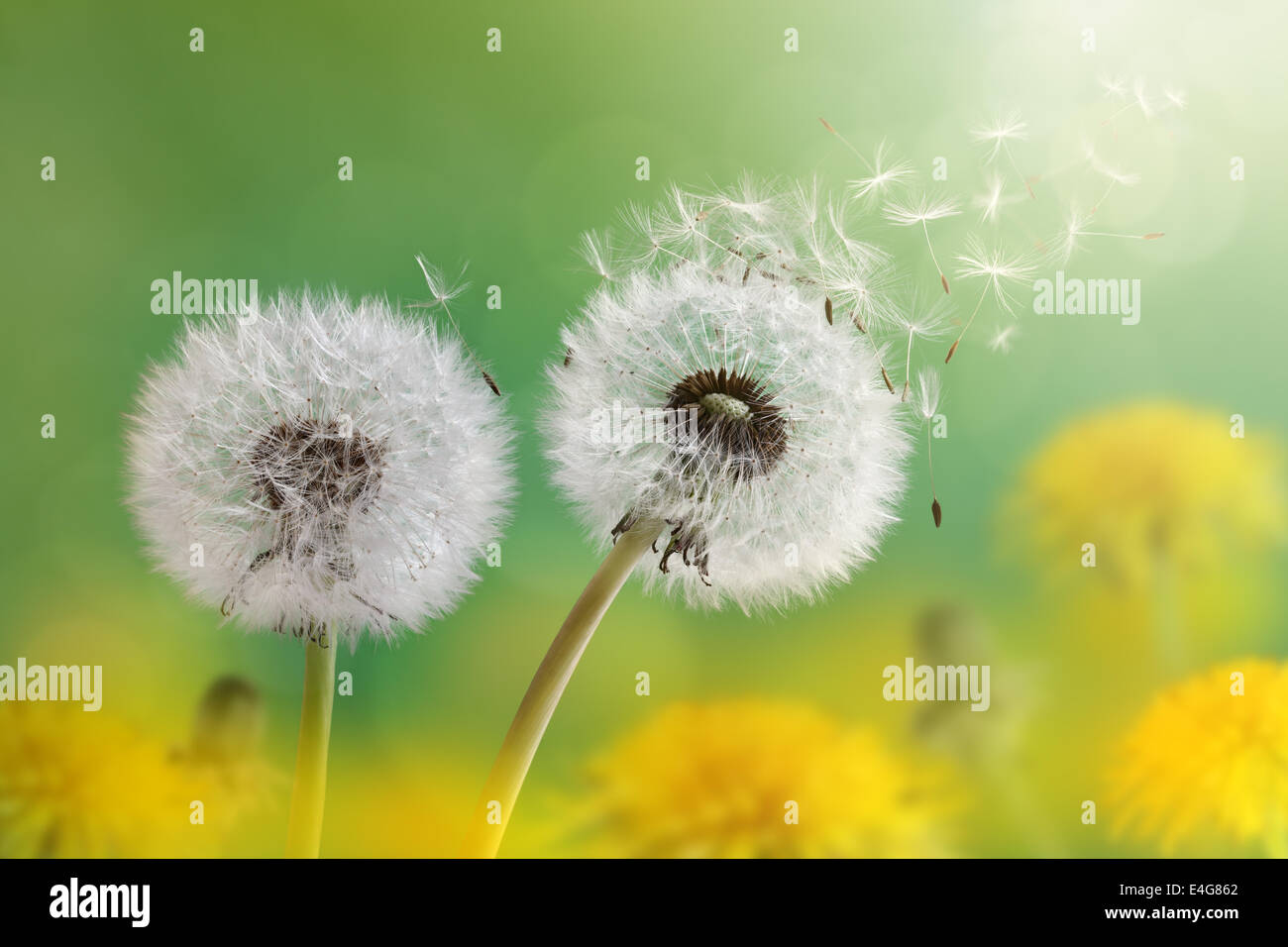Dandelion clock in morning sun - Stock Image