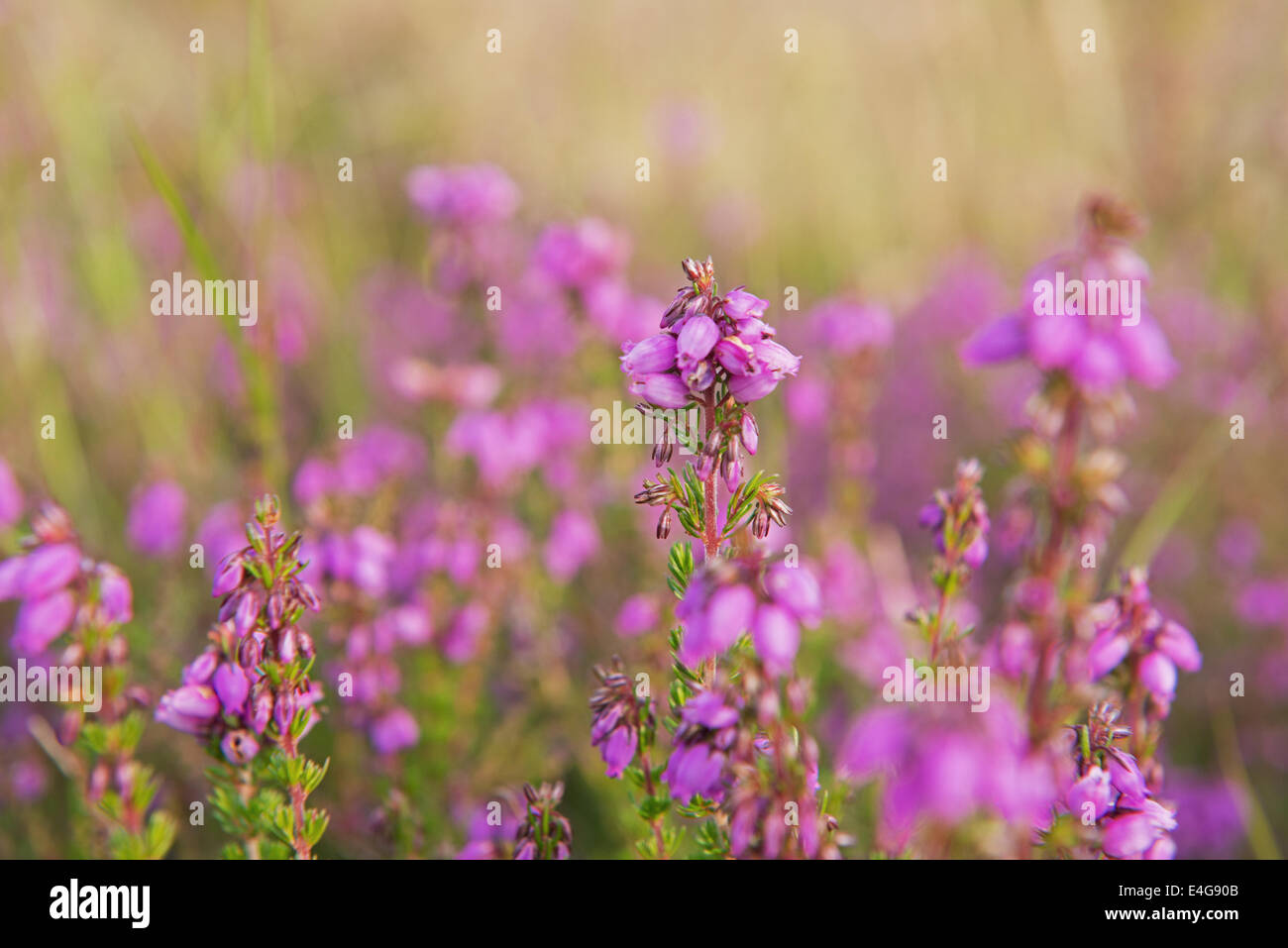 Culluna Vulgaris  ( Known As Common Heather, Ling Or Simply Heather) In Bloom, Summer, Uk. - Stock Image