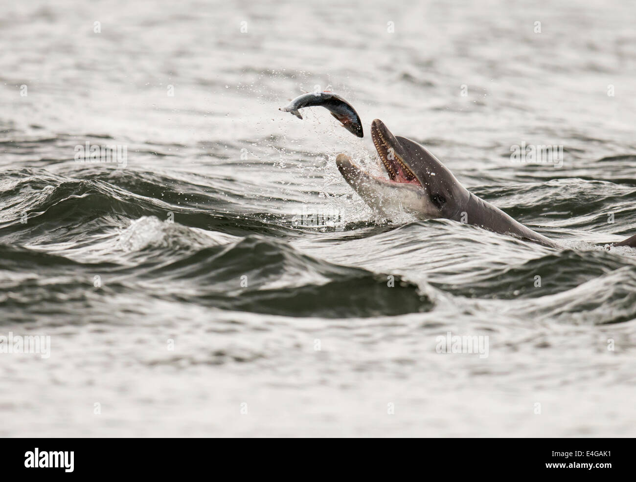 Bottlenose Dolphin with Salmon at Chanonry Point, Scotland - Stock Image