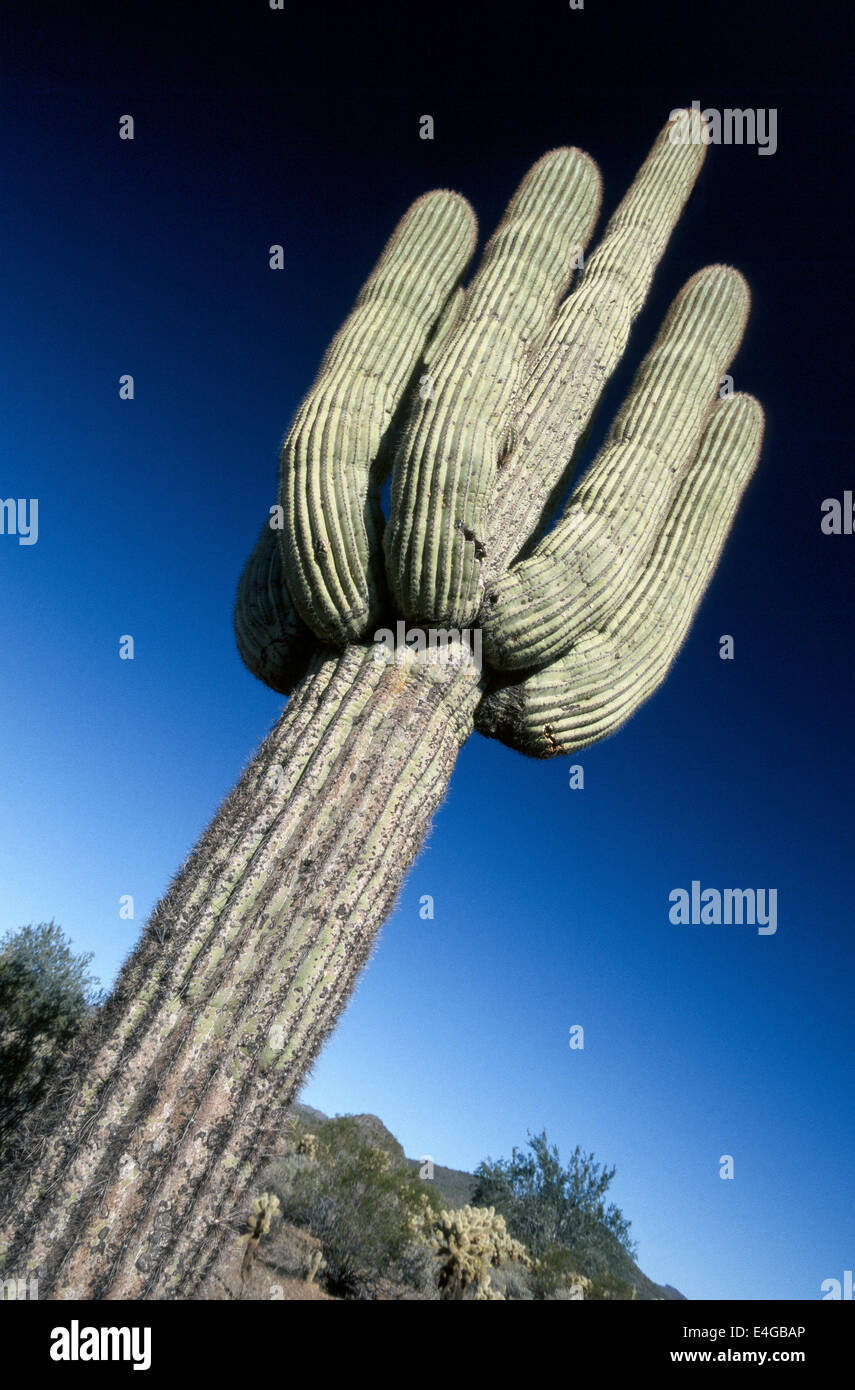 The saguaro cactus is the largest cactus found in the United States and can grow as tall as 40 to 60 feet (12 to Stock Photo