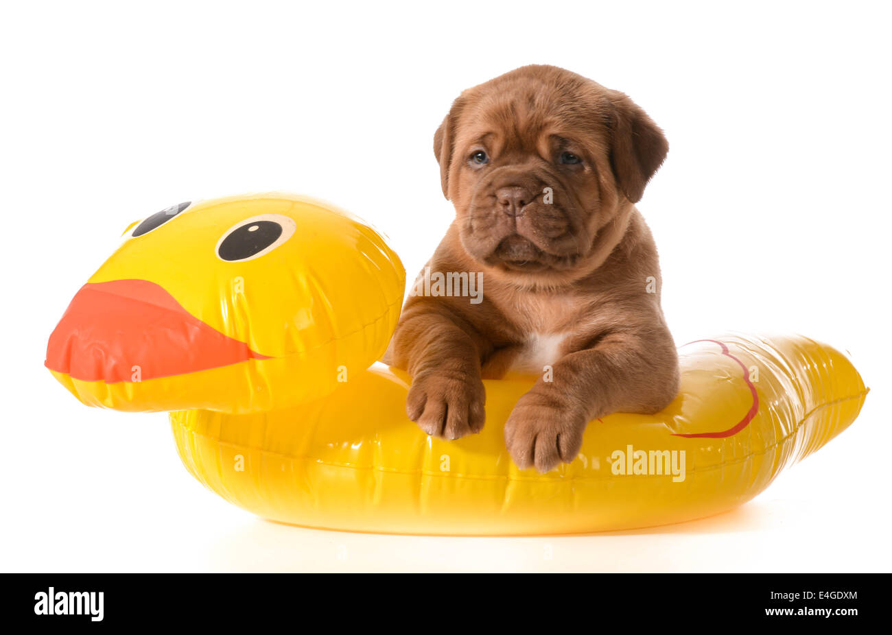 dog water safety - dogue de bordeaux in floatation device Stock Photo