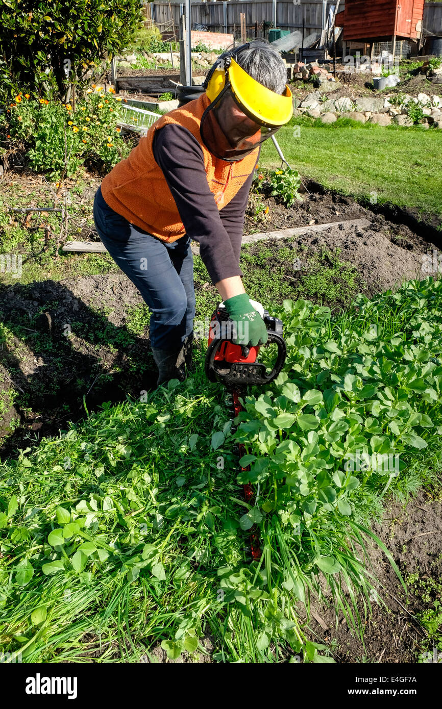 Slashing green manure crop using a hedge trimmer Stock Photo