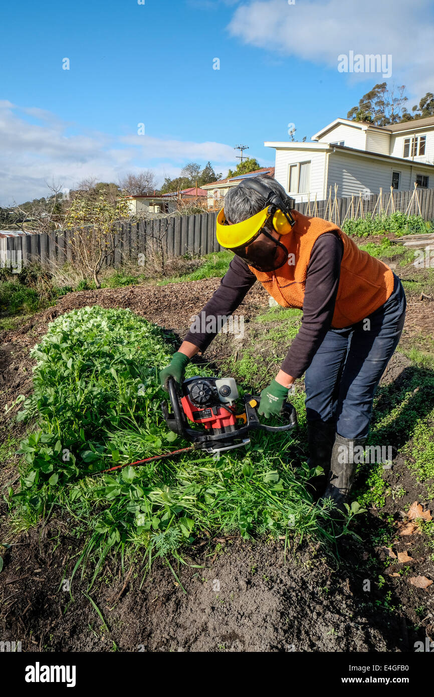 Slashing green manure crop using a hedge trimmer - Stock Image