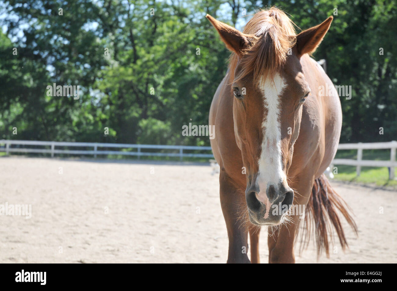 Pony at Belmont Stables in Philadelphia, Pa, USA. - Stock Image