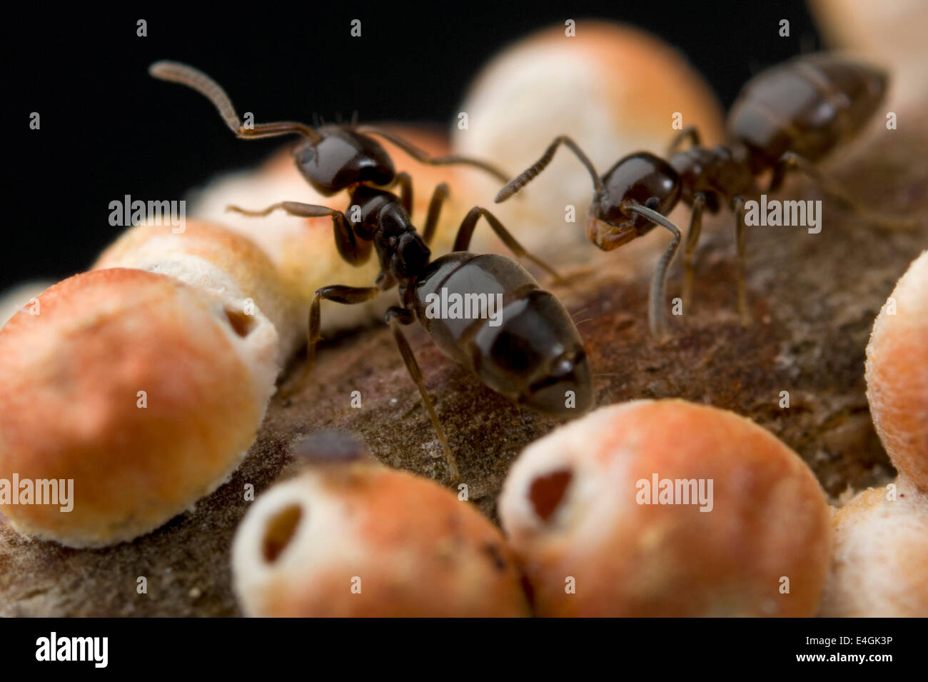Gumtree scale and attendant ants - Stock Image