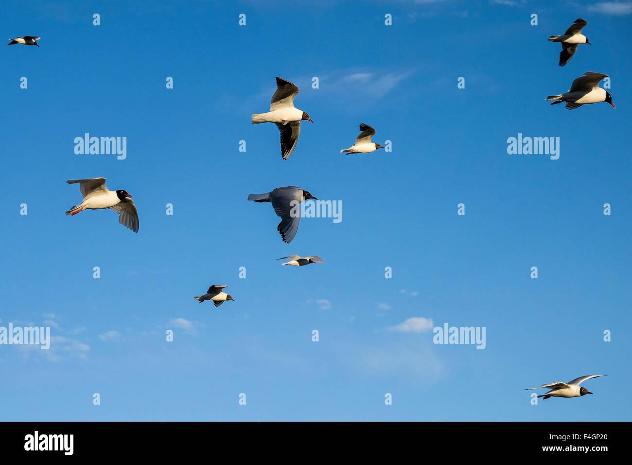 Black Headed Gulls. - Stock Image