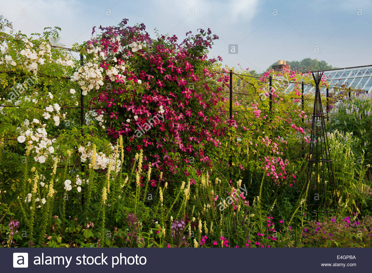 Flowers Fence Climbing Stock Photos Flowers Fence Climbing Stock