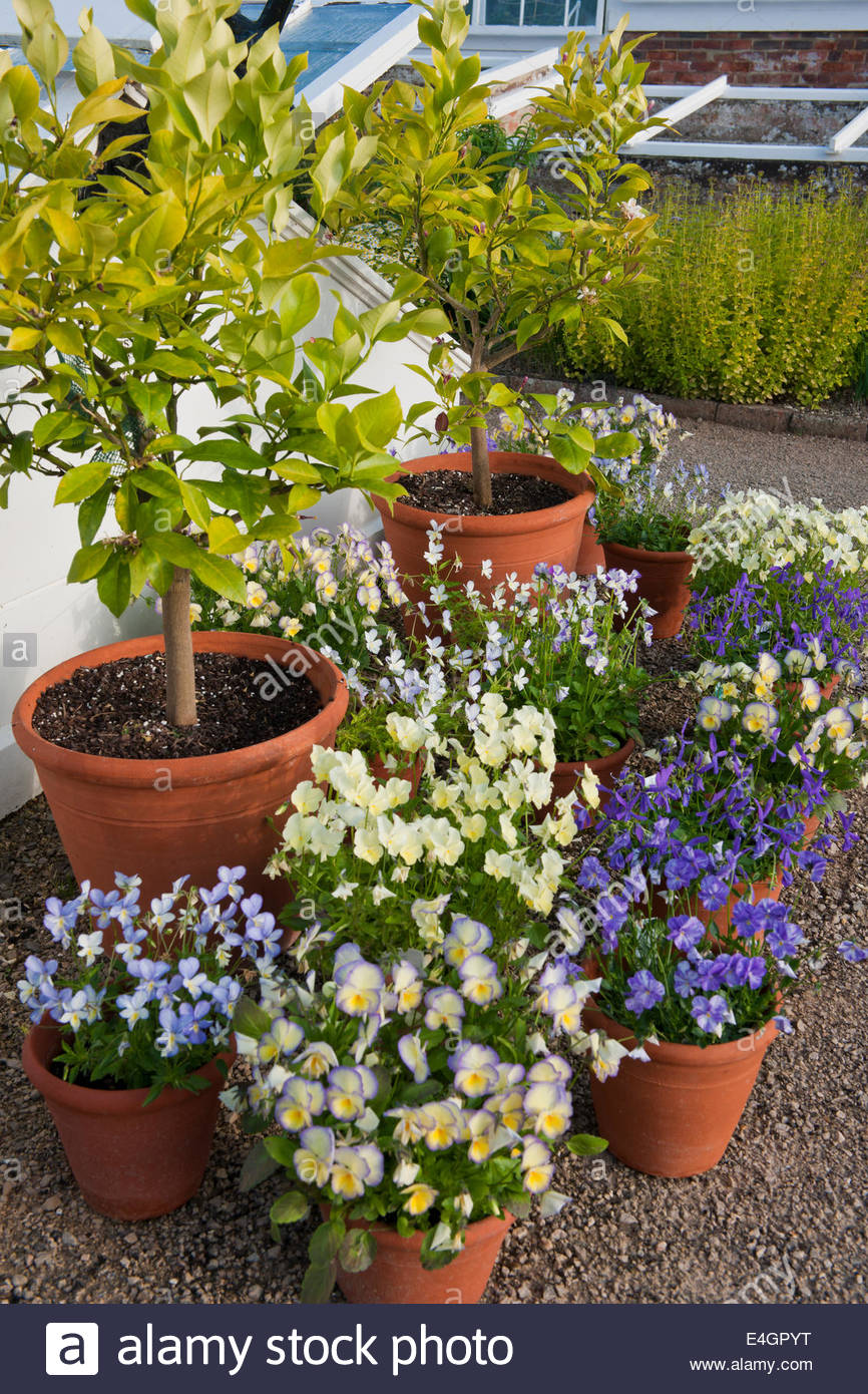 Violas In Terracotta Pots Containers Coldframe West Dean Sussex Walled  Garden Formal Sun Sunny Summer July