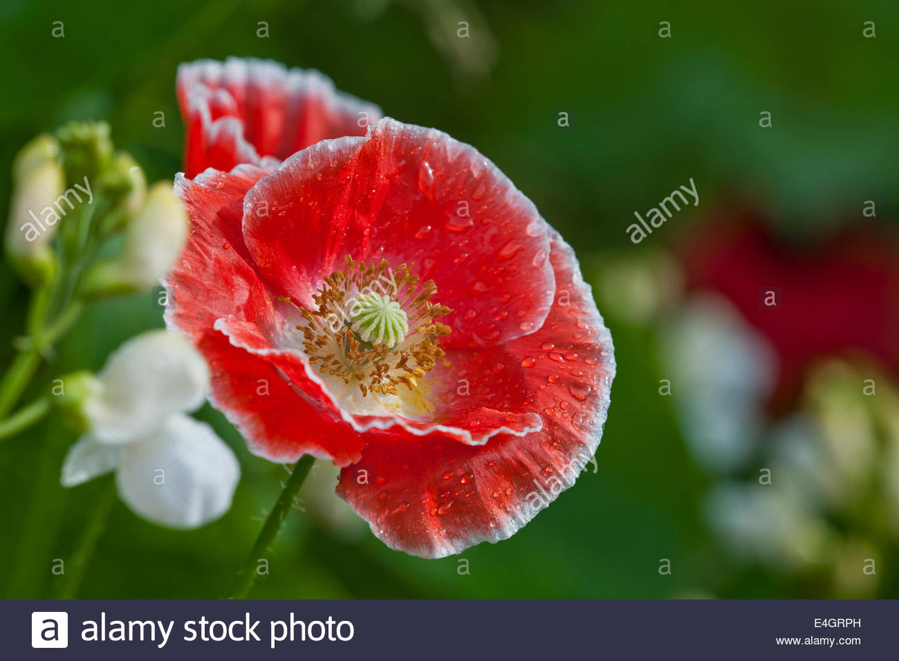 Papaver rhoeas Shirley field wrinkled newly opened annual poppy summer flower pink  July garden plant sun sunny - Stock Image