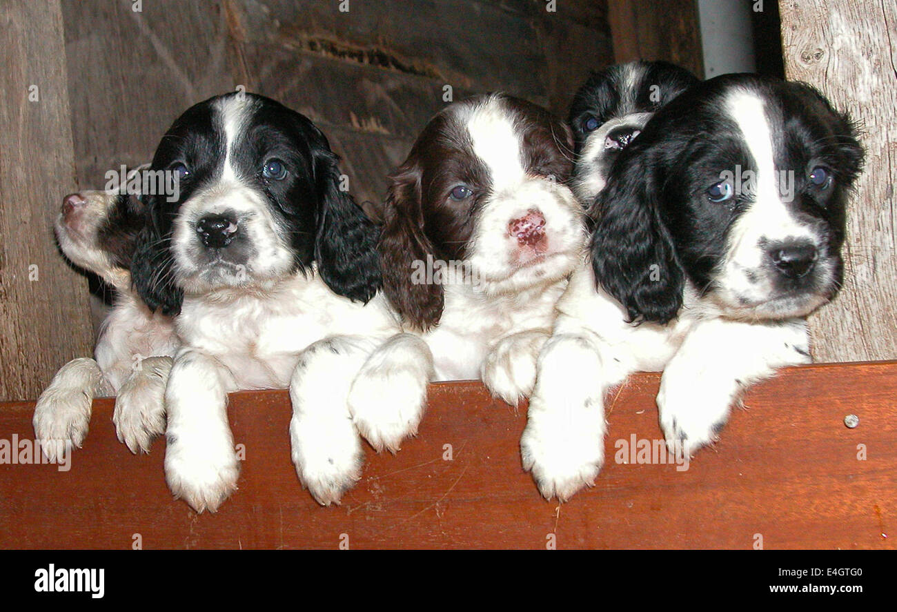 Litter Of Puppies Stock Photos & Litter Of Puppies Stock Images - Alamy