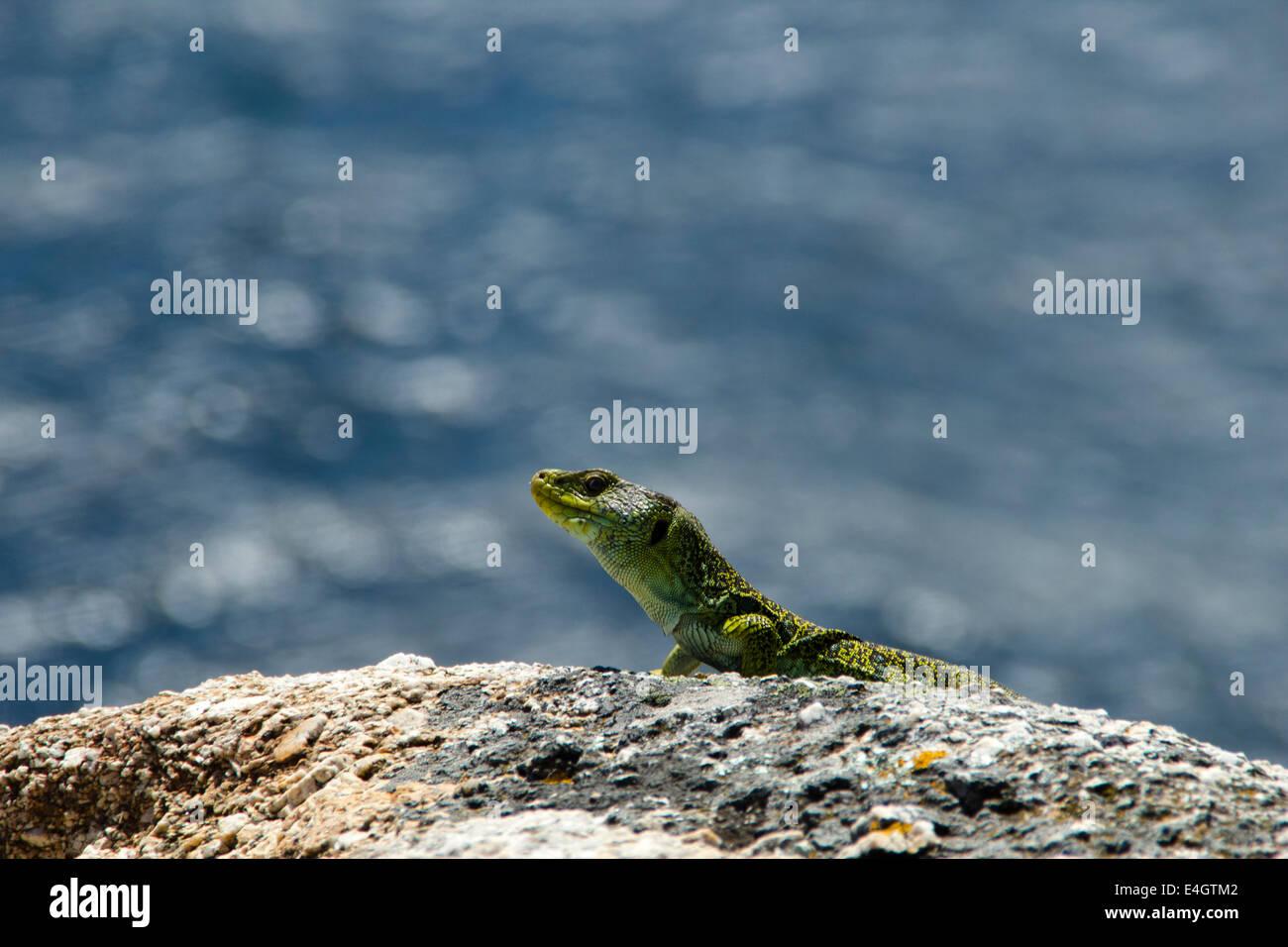 Lizard in Finisterre - Great walk of St. James, Jakobsweg, Camino de Santiago, Spain - Stock Image