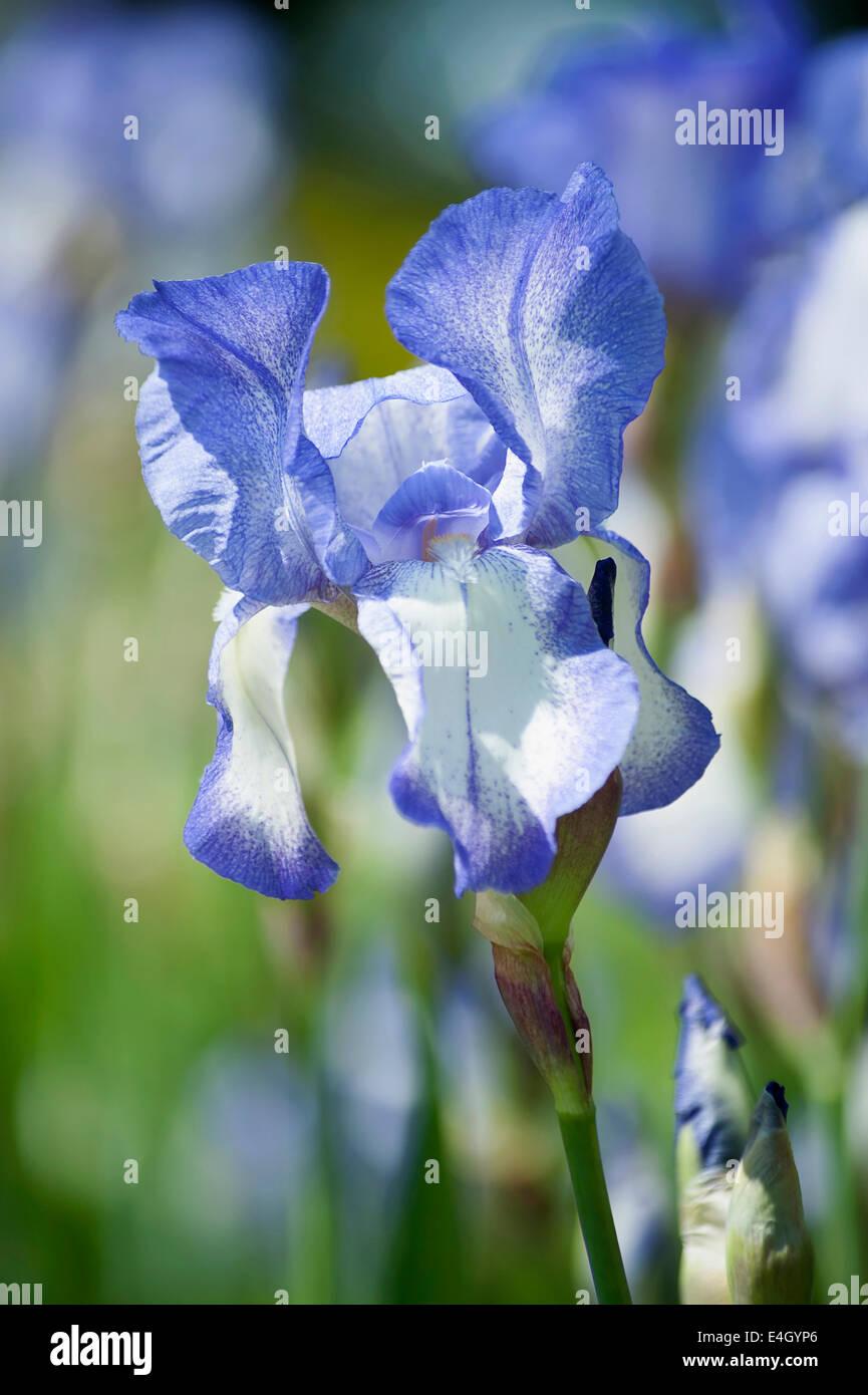 Iris, Tall bearded iris, Iris 'Touch of Spring'. - Stock Image