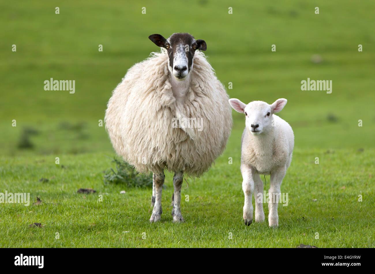 Ewe and Lamb, England, UK - Stock Image