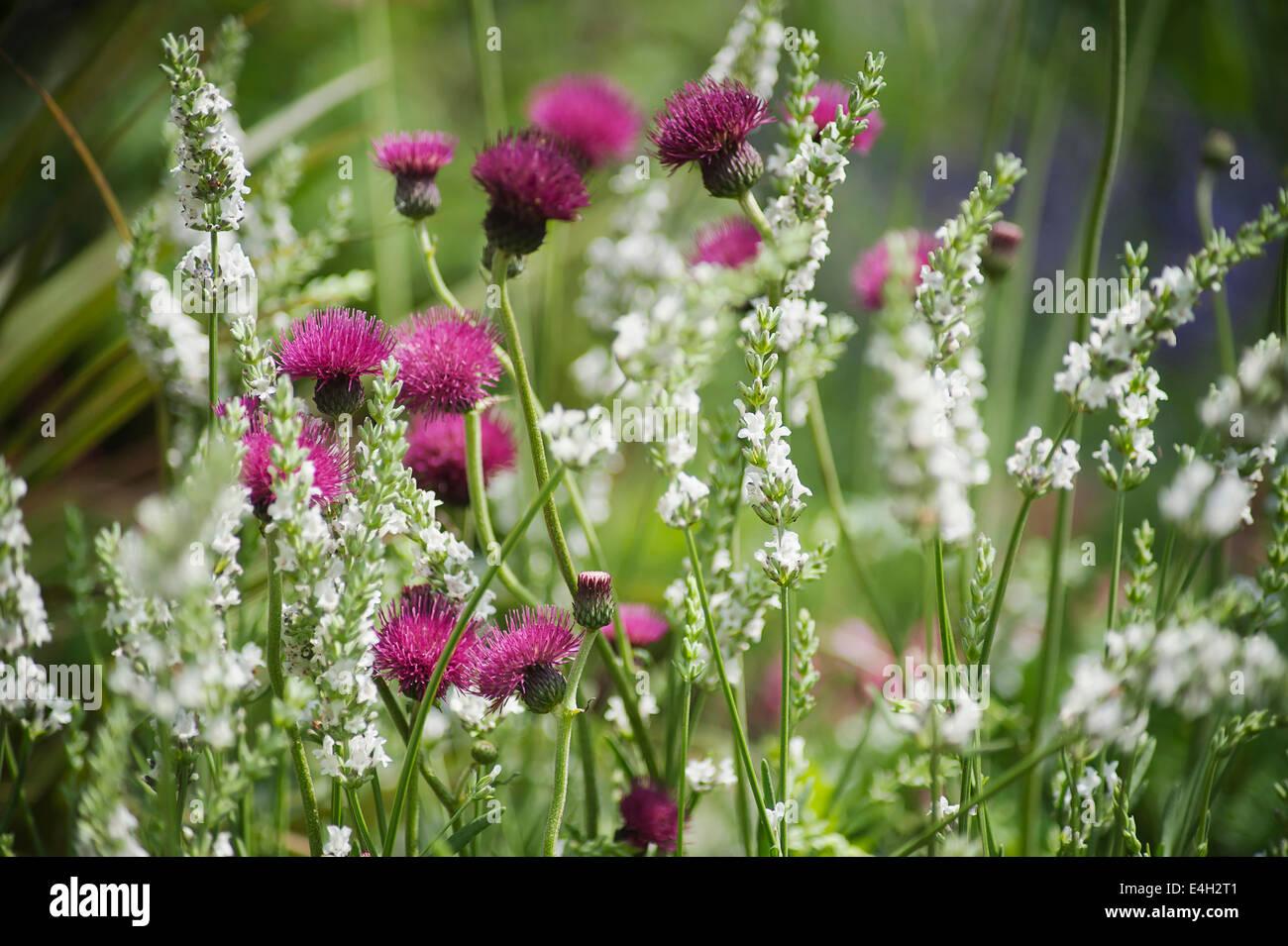 Cirsium, Cirsium rivulare 'Atropurpureum'. - Stock Image