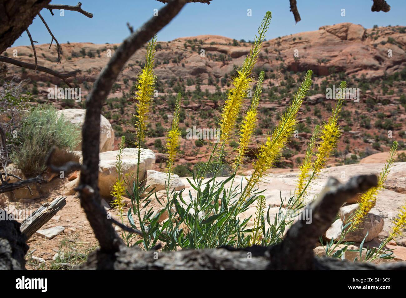 Moab, Utah - Prince's Plume (Stanleya pinnata) blooming in Canyonlands National Park. - Stock Image