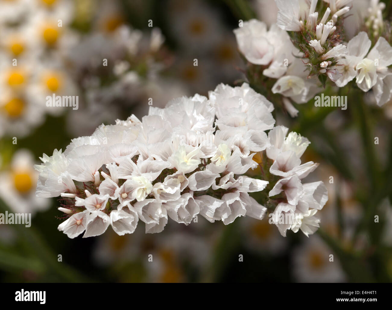 Close up image of a white statice in flower limonium sinuatum stock close up image of a white statice in flower limonium sinuatum iceberg mightylinksfo