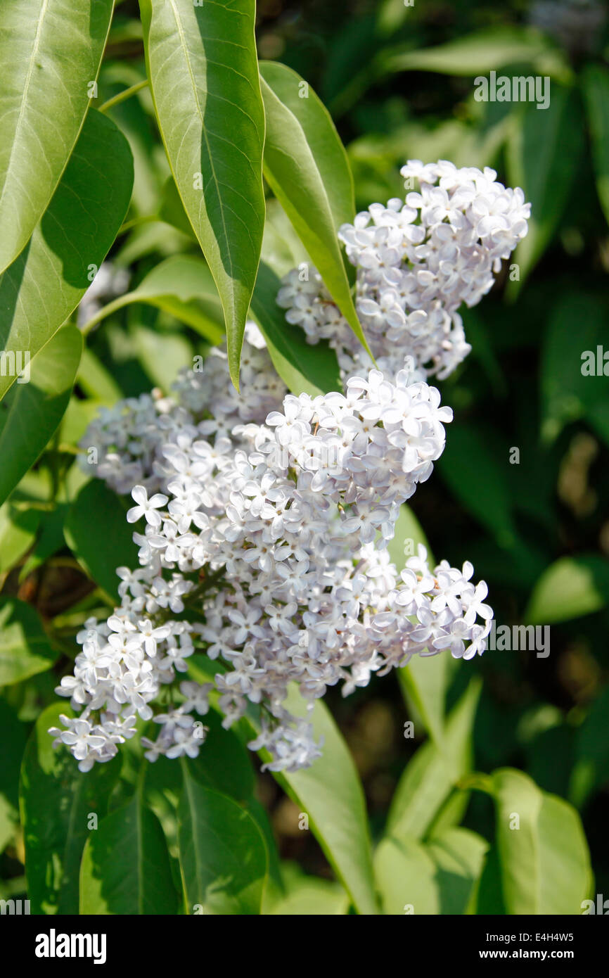 Buddleja davidii 'White Profusion' in full flower - Stock Image