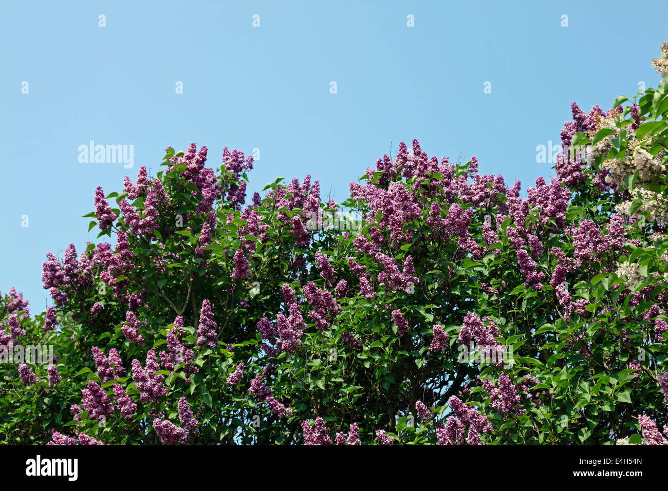 Butterfly Bush (Buddleia davidii), possibly 'Pink Delight', in full flower. - Stock Image
