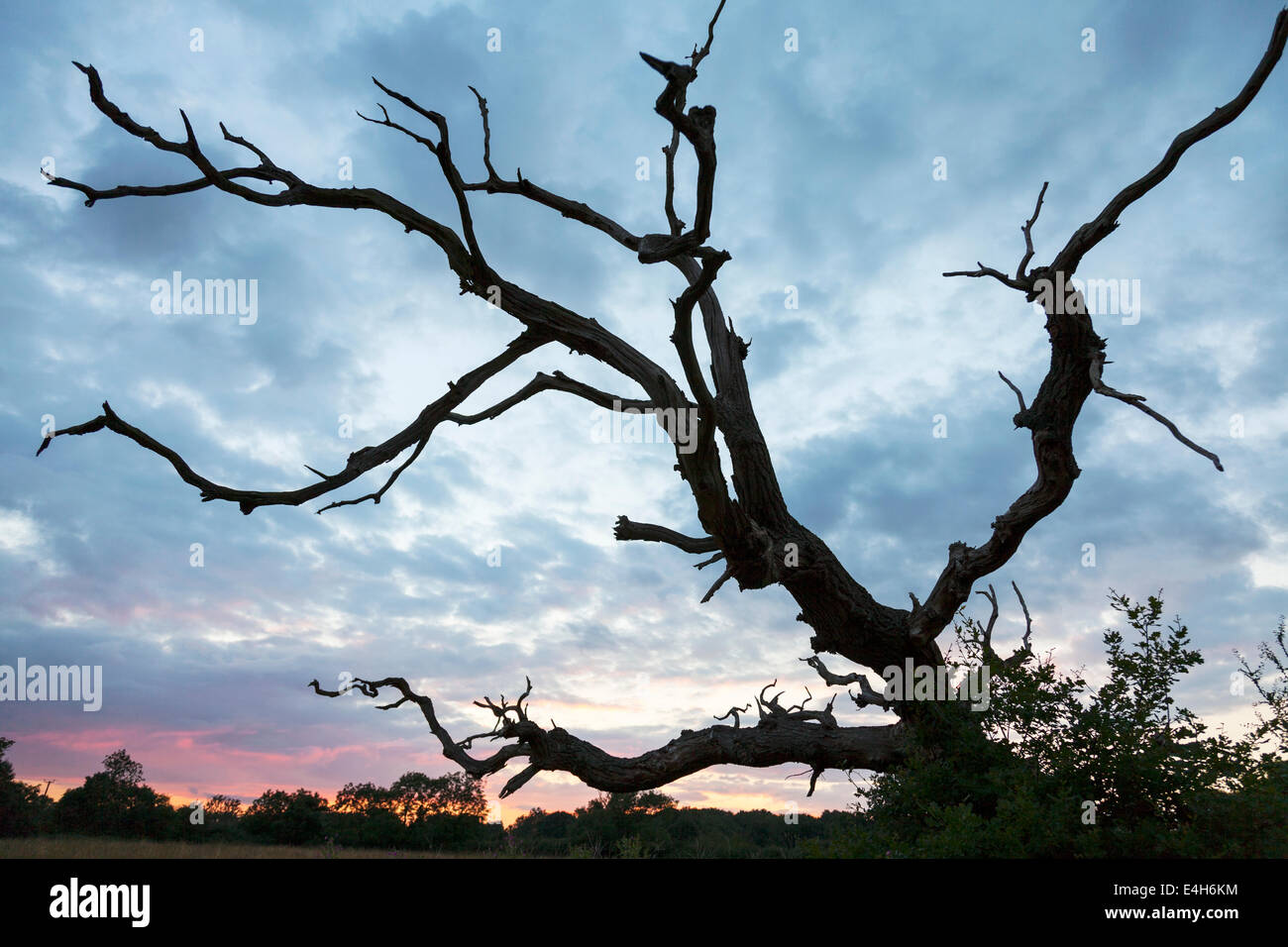 Old dead tree fallen branches diseased reaching out dramatic sky Cotswolds UK England - Stock Image