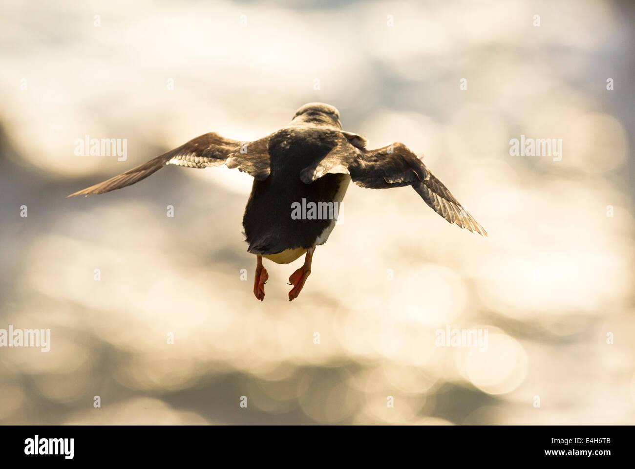 An Atlantic Puffin (Fratercula arctica) in flight. Stock Photo