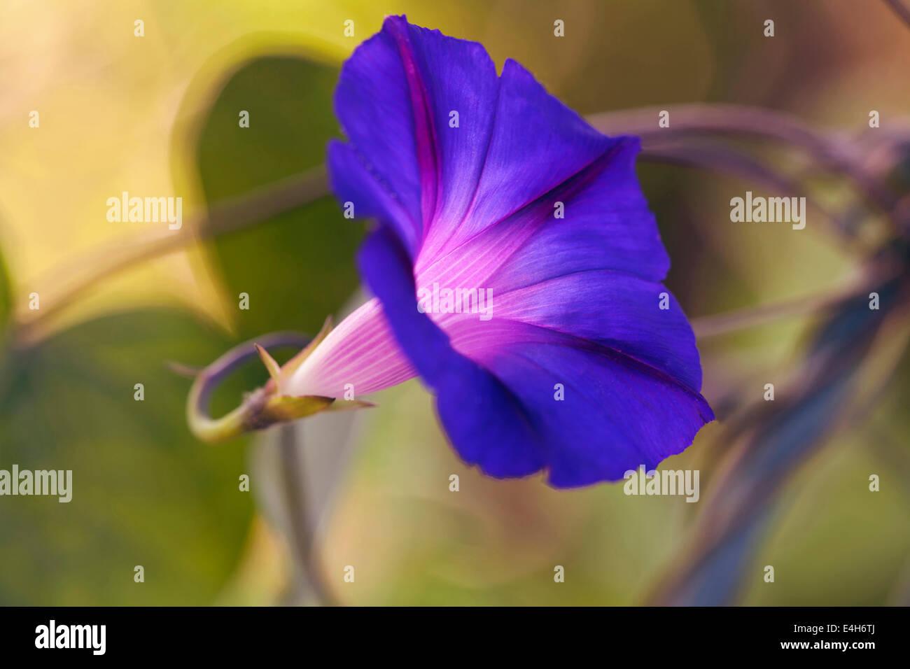 Morning glory – Purple morning glory, Ipomoea purpurea 'Feringa'. - Stock Image