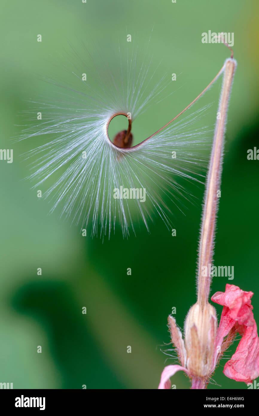 Pelargonium, Pelargonium x hortorum 'Red Satisfaction'. - Stock Image