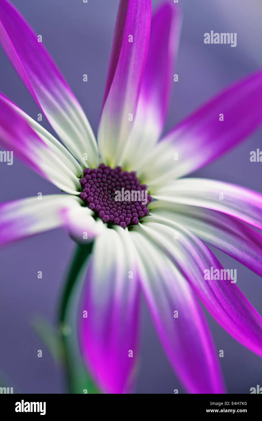Cineraria, Pericallis x hybrida Senetti baby Magenta Bicolor 'Sunseneribuba'. - Stock Image