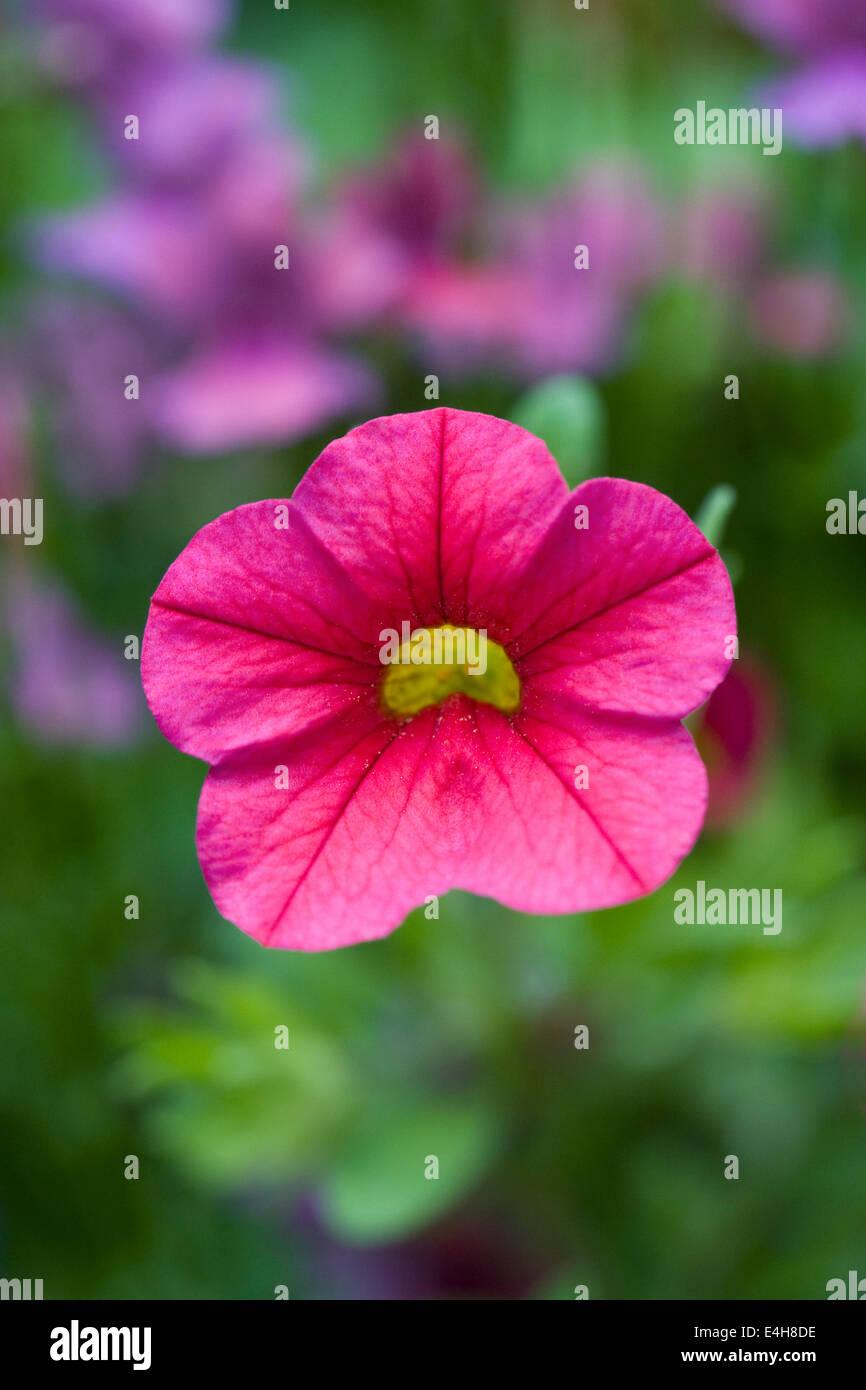 Calibrachoa. Million bells flower. - Stock Image