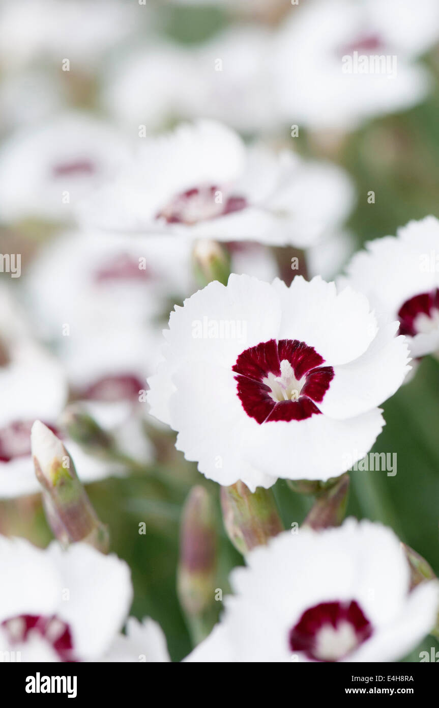 Pink 'Dainty Dame', Dianthus 'Dainty Dame'. - Stock Image