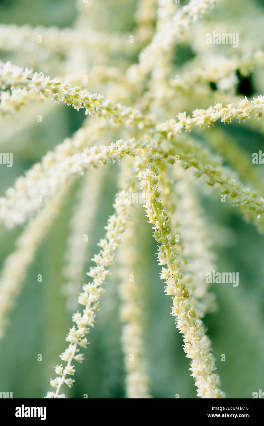 Himalayan Knotweed, Persicaria wallichii. - Stock Image