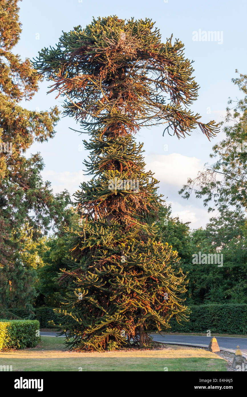 Monkey Puzzle Tree, Araucaria araucana, growing in Berkshire, England, UK. - Stock Image