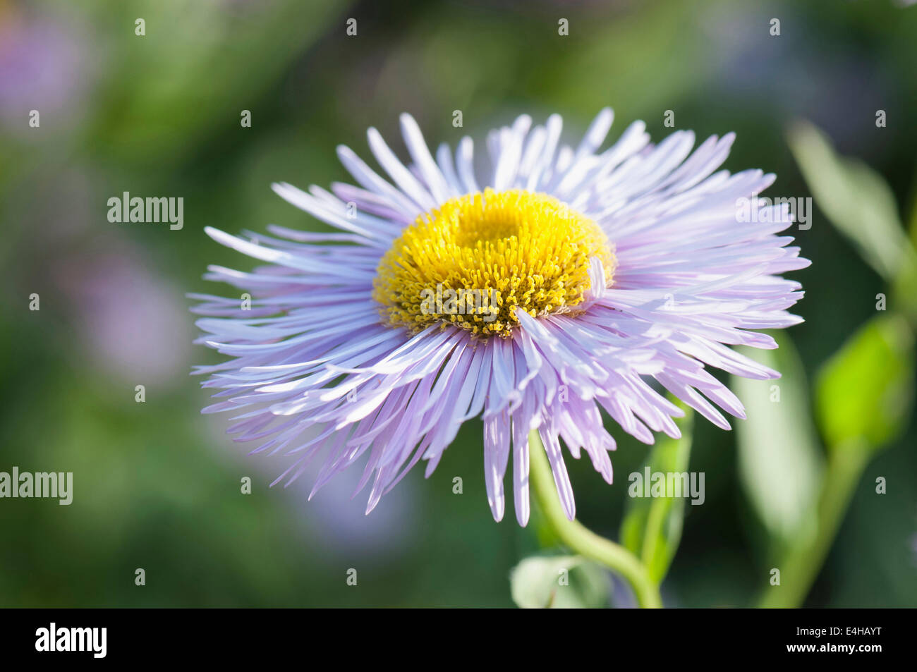 Fleabane, Erigeron 'Prosperity'. - Stock Image