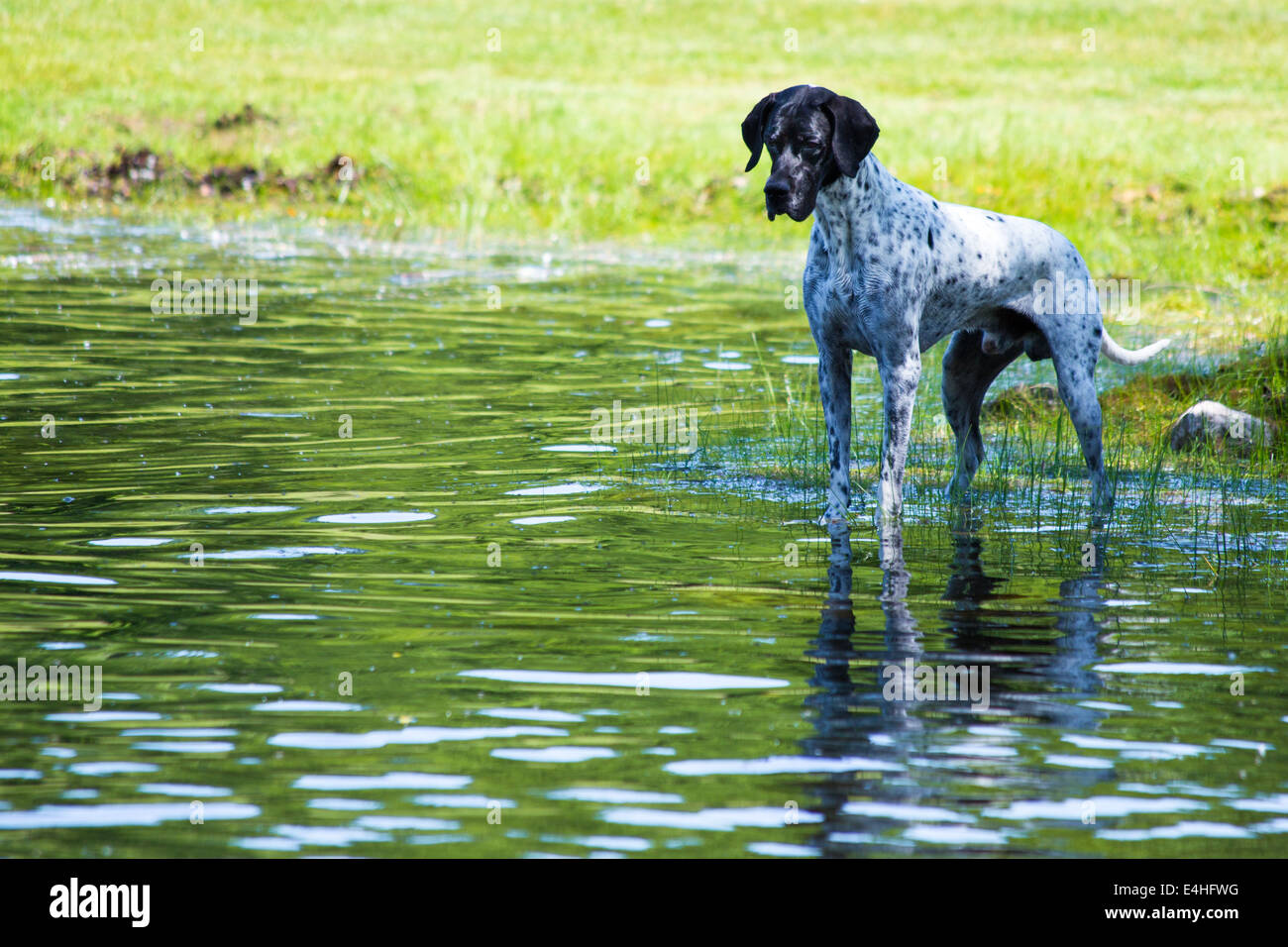 This dog was fascinated with watching the tadpoles in the pond - Stock Image