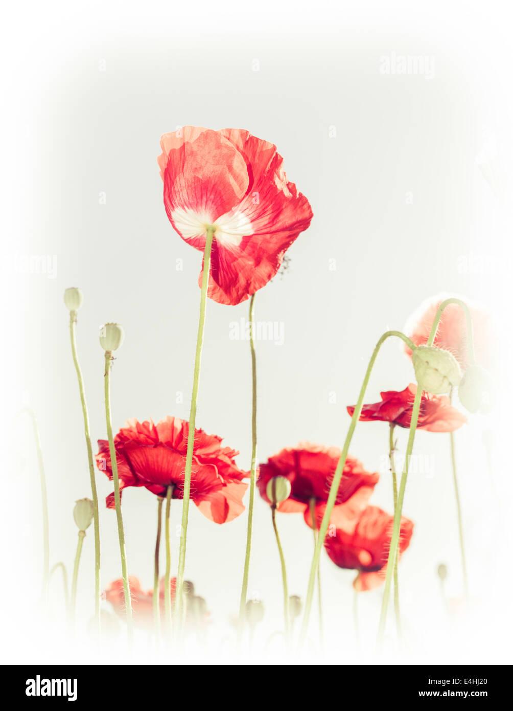 Wild poppy flowers on summer meadow - Stock Image