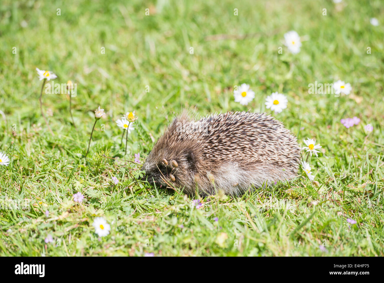 Side view (lateral view) of a European hedgehog with an infestation of ticks on its head around its eye foraging - Stock Image