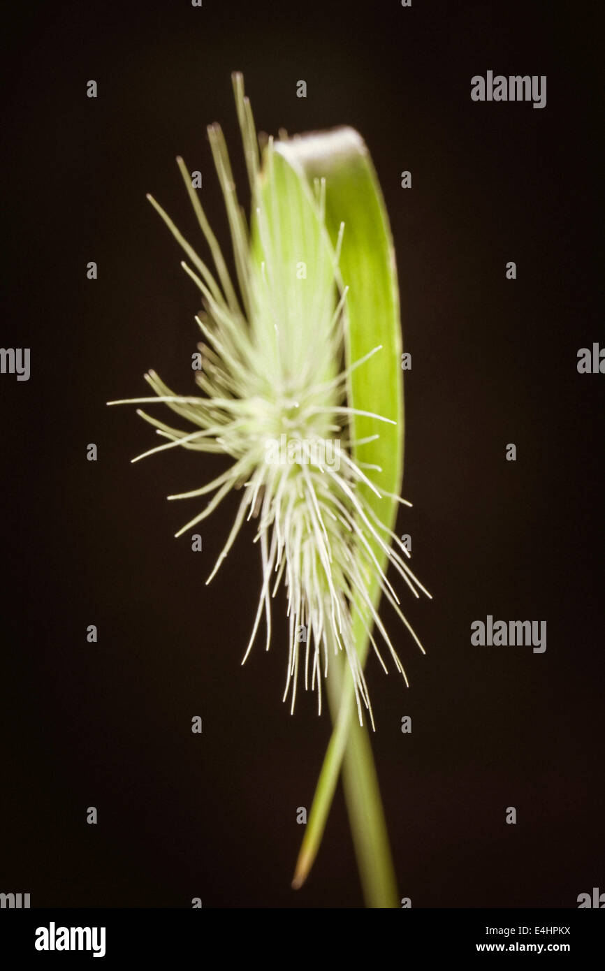 Grass Seed Head - Stock Image