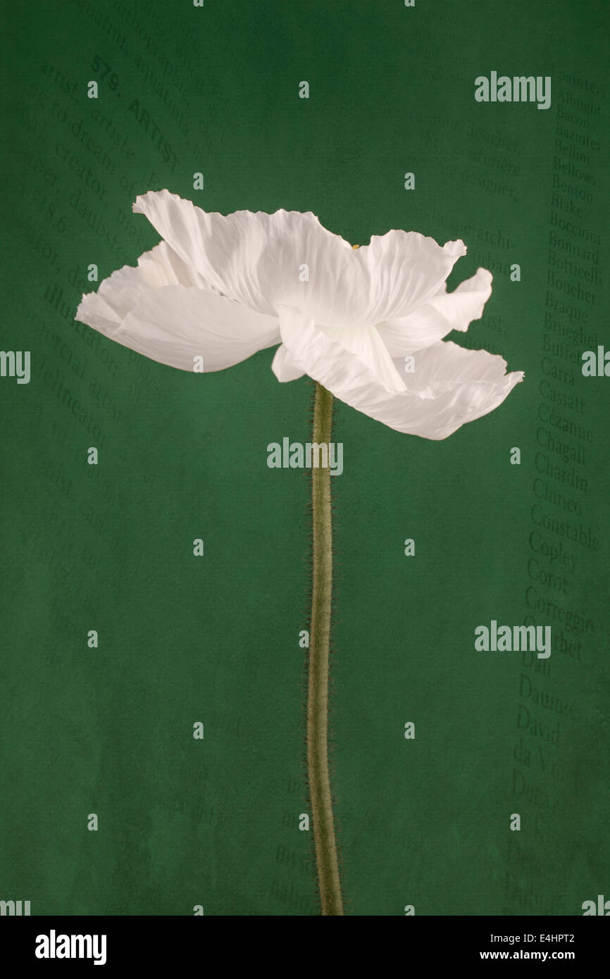 White Poppy on scripted green background - Stock Image