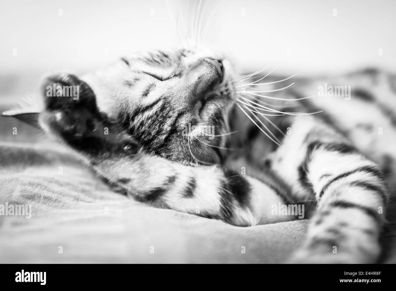 Cat washing itself - Stock Image